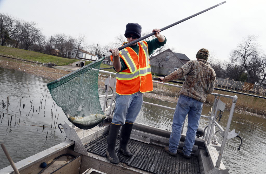 David Ford of Halff Associates caught a fish from a electrical fish sampling boat while moving fish from the Pavaho pond to the Trinity River in Dallas in February. At right is Matthew Tolnay of Animal Services Inc., watching the water with a net. (Kye R. Lee/The Dallas Morning News)